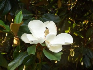 rsz_magnolia_bloom